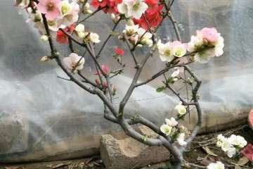 海棠树盆景桩头叶子发黄 枯枝萎靡怎么办?