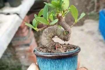 微型盆景的土太少 怎样补充肥料才最有效?