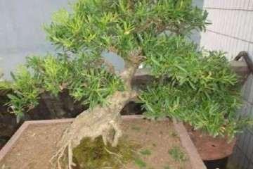 黄杨盆景怎样扦插繁殖的方法 图片