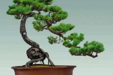 山松盆景在发芽期怎样施肥的方法 图片