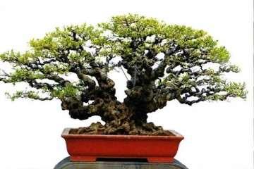 厦门柯成昆收藏的榕树盆景作品 图片