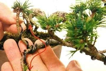 移栽多余果树 培植盆景也能卖钱