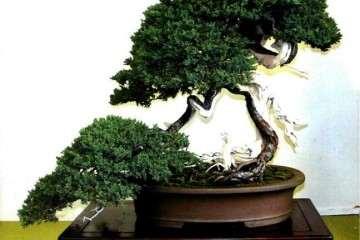 中国文人树盆景发展中的不良现象评说