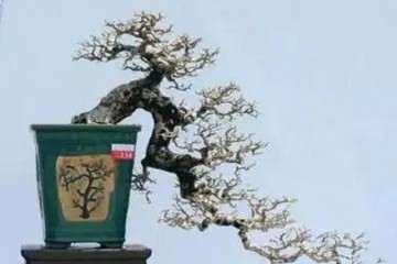 枫树盆景到现在还没有来芽 应怎么办