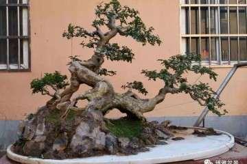 京山对节白蜡盆景轰在园博会上轰动全国