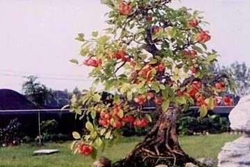 冬红果盆景刚发新芽可以修剪吗 图片