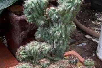 仙人山盆景怎样繁殖与花盆选择 图片