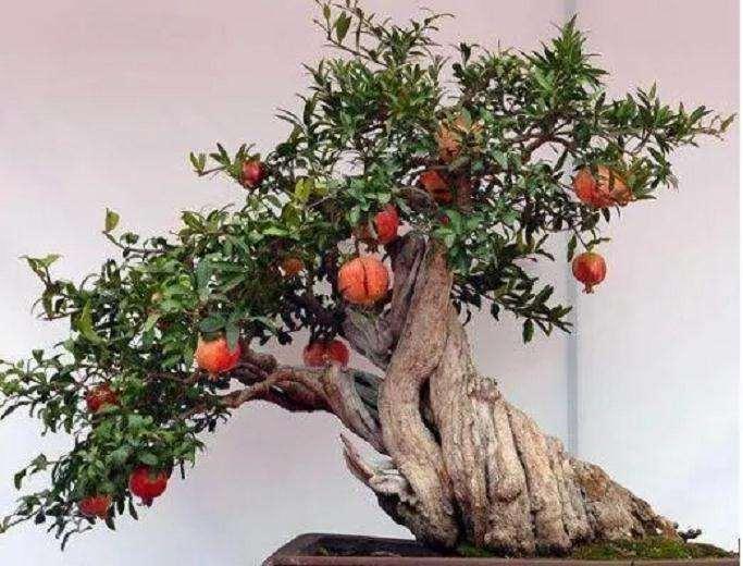 石榴盆景怎么养护种植的方法