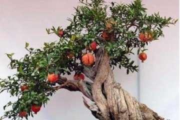 石榴盆景怎么养护种植的方法 图片