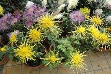 菊花盆景怎样施肥管理的方法