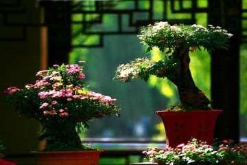 菊花盆景怎么浇水管理的方法