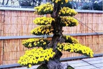 菊花盆景怎么移栽管理的方法