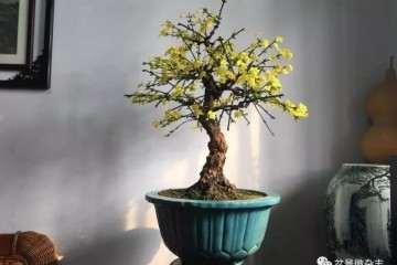 制作梅桩型迎春花盆景怎样修剪与整形