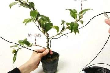 图解 怎么给粗壮的盆景枝条缠绕金属丝