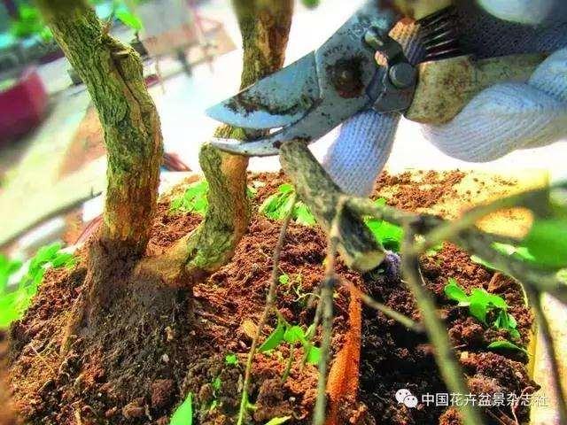 怎么制作黄杨球双干自然式盆景