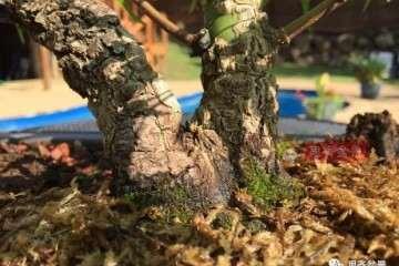 图解 杂木盆景缺枝怎么办 可以穿接补枝