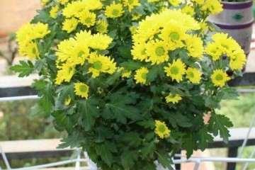 盆景菊花的病虫害怎么防治的方法