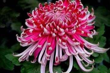 菊花盆景怎么移栽的方法 图片