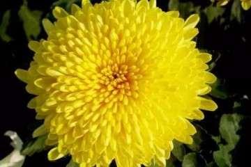 盆景菊花在发芽后怎么浇水的方法