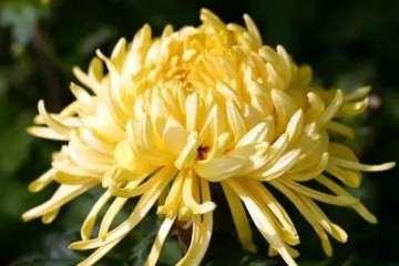 盆景菊花栽培过程中怎么施肥的方法