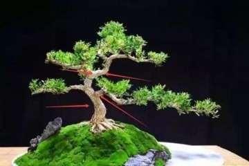 如何挑选小珍珠黄杨树苗盆景的方法