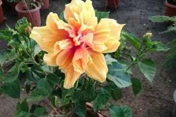 扶桑花盆景的花盆怎么选择与换盆