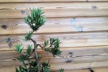 图解 树木盆景怎么结顶的几个方法