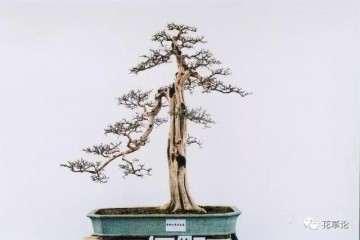 九里香盆景怎么繁殖造型的方法