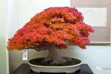 室内枫树盆景的叶子在冬天怎么养护