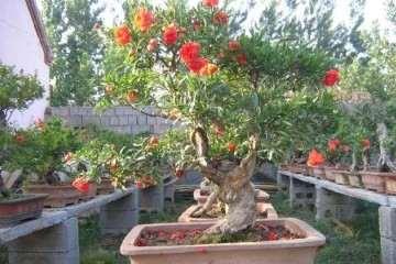 夏季石榴盆景怎么疏果修剪的方法