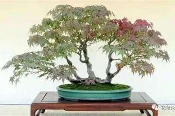 为什么冬天枫树盆景要移到室内养护
