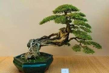 松树盆景是制作悬崖盆景的最好素材