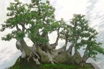对节白蜡盆景树怎么浇水养护的5个方法