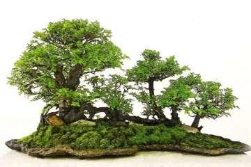 图解 怎么制成丛林型盆景的方法 17幅