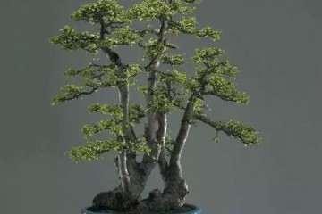 榆树盆景越是修剪越利于发叶分枝
