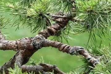 盆景制作过程中怎么修剪摘心的方法