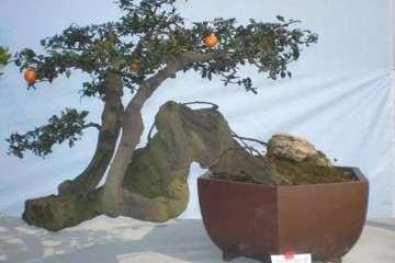巧用树胚 盆景树桩繁殖成功率高