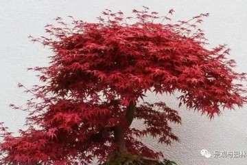 怎么在阳台养护红枫盆景的方法 图片