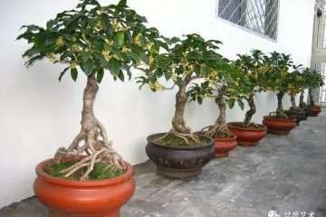 桂花盆景怎么播种繁殖的4个方法