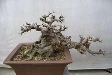 雀梅盆景的盆土与怎么修剪的方法