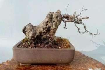 榆树盆景桩头流胶为什么影响存活率