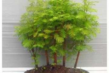 水杉盆景在春季怎么扦插的方法 图片