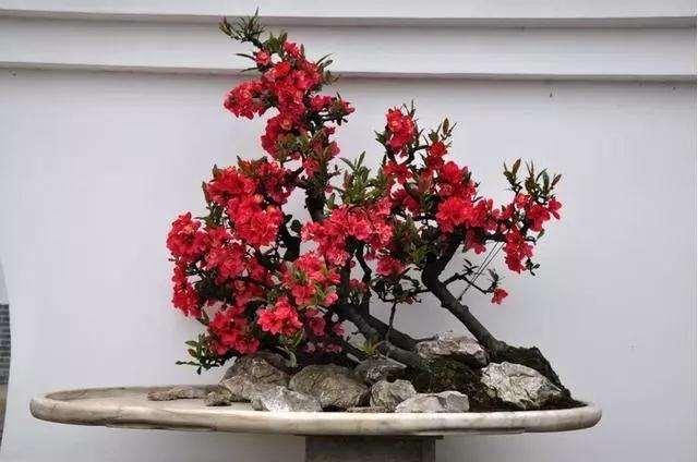 日本海棠盆景在春季开花后怎么扦插