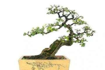 榆树盆景怎么施肥养护的方法