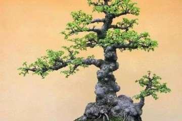 榆树盆景怎么使用花盆和盆土 图片