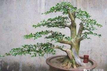 黄杨盆景怎么浇水施肥的方法 图片