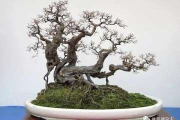日本盆景价格高于国产盆景短期内是无法扭转的