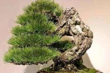 松树盆景换盆时怎么萱蕚花盆与土壤
