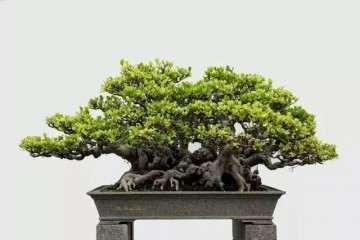 泉州榕树盆景的5个创作心得