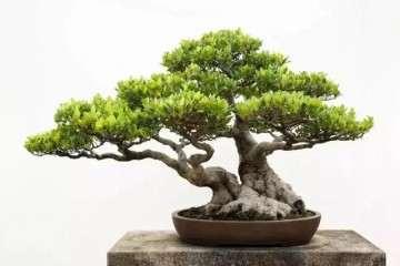 图解 泉州榕树盆景怎么栽培与造型